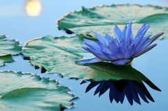 Blauwe waterlelie Royalty-vrije Stock Afbeeldingen