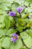 Blauwe waterlelie Stock Afbeelding