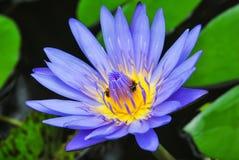 Blauwe waterlelie. Stock Afbeelding