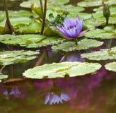 Blauwe Waterlelie met Purpere Blauwe Bezinning Stock Fotografie