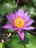 Blauwe waterlelie, ook genoemd blauwe lotusbloem stock foto