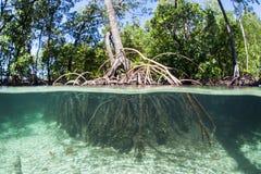 Blauwe Watermangrove in West-Papoea Stock Foto