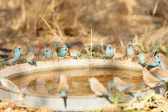 Blauwe Waxbills Royalty-vrije Stock Foto