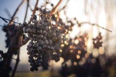 Blauwe Wijnstokdruiven Druiven voor het maken van ijswijn royalty-vrije stock afbeelding