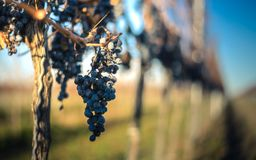 Blauwe Wijnstokdruiven Druiven voor het maken van ijswijn royalty-vrije stock foto's