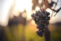 Blauwe Wijnstokdruiven Druiven voor het maken van ijswijn stock foto's