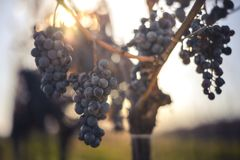 Blauwe Wijnstokdruiven Druiven voor het maken van ijswijn stock afbeeldingen
