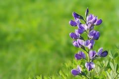 Blauwe wild-indigogrens Stock Foto's