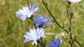 Blauwe wilde bloem stock video