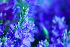 Blauwe wilde bloemen Royalty-vrije Stock Foto's