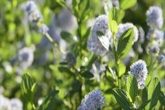 Blauwe wilde bloemen die in een wind blazen stock footage