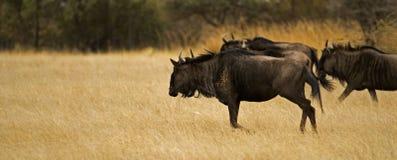 Blauwe Wildebeest Stock Foto's