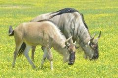 Blauwe Wildebeest Stock Afbeelding
