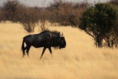 Blauwe Wildebeest Stock Fotografie