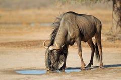 Blauwe Wildebeest bij waterhole Stock Fotografie