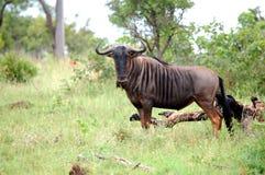 Blauwe Wildebeest (Connochaetes Taurinus) Stock Foto