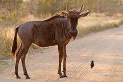 Blauwe Wildebeest (Connochaetes Taurinus) Stock Fotografie