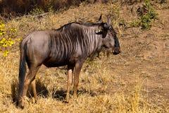 Blauwe Wildebeest (Connochaetes Taurinus) Stock Foto's
