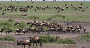 Blauwe Wildebeest, connochaetes taurinus, Kudde tijdens Migratie, het park van Masai Mara in Kenia, stock footage