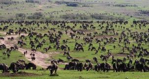 Blauwe Wildebeest, connochaetes taurinus, Kudde tijdens Migratie, het park van Masai Mara in Kenia, stock video