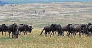 Blauwe Wildebeest, connochaetes taurinus, Kudde tijdens Migratie, het park van Masai Mara in Kenia, stock videobeelden