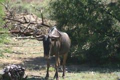 Blauwe Wildebeest of Getijgerd GNU stock foto