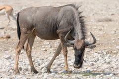 Blauwe Wildebeest (Getijgerd GNU) royalty-vrije stock foto's