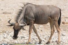 Blauwe Wildebeest (Getijgerd GNU) royalty-vrije stock afbeeldingen