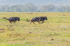 Blauwe Wildebeest in Tanzania Stock Foto