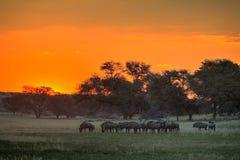 Blauwe Wildebeest-zonsondergang Royalty-vrije Stock Foto