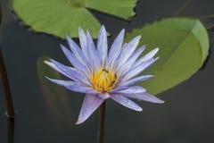 Blauwe witte de vlekkleur van Lotus Stock Foto
