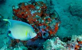 Blauwe Zeeëngel - Koraalrif Stock Foto's