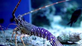 Blauwe Zeekreeft stock video