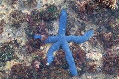 Blauwe zeester royalty-vrije stock foto's