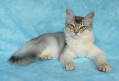 Blauwe zilveren Somalische kat Royalty-vrije Stock Fotografie