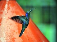 Blauwe Zoemende Vogel ongeveer aan voer Royalty-vrije Stock Afbeeldingen