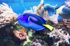 Blauwe zweempjevissen die in een tank zwemmen royalty-vrije stock afbeeldingen