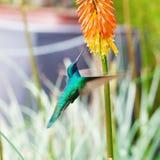 Blauwgroene kolibrie die over tropisch oranje F vliegen Royalty-vrije Stock Foto's