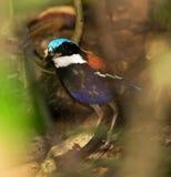 Blauwkoppitta, Pitta dalla testa blu, baudii di Pitta fotografia stock