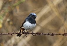 Blauwkoproodstaart Blått-korkade Redstart, Phoenicuruscaeruleoce royaltyfri foto