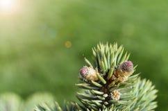 Blauwsparbloemen onder de Zonneschijn Royalty-vrije Stock Afbeelding
