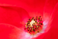 Blaze Climbing Rose. Close up macro of red rose  blaze climbing rose Stock Image