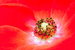 Blaze Climbing Rose. Close up macro of red rose  blaze climbing rose Royalty Free Stock Photography