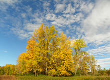Blaze of yellow trees in a hedgerow during autumn against blue sky Stock Images