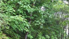 Blazende grote bladesdoorn stock videobeelden