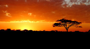 Blazing African Sunset. A vibrant colored sunset in Africa with acacia tree silhouette stock image