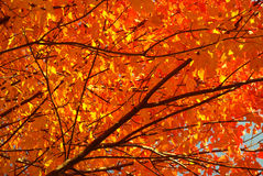 Blazing autumn leaves canopy. Stock Images