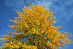 Blazing Autumn Tree against bright blue sky Stock Images