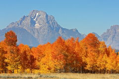 Blazing Fall Foliage before Mount Moran. Red and gold leaves on trees in autumn with mountain in the background stock image