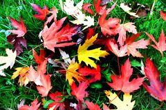 Blazing multicolor maple leaves of autumn Stock Image